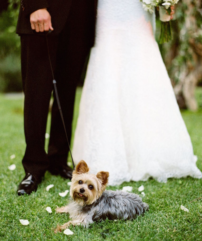 Teacup yorkie in wedding ceremony on grass