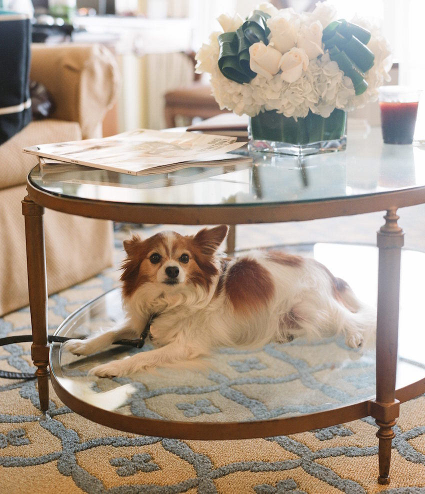 Little dog on coffee table in bridal suite