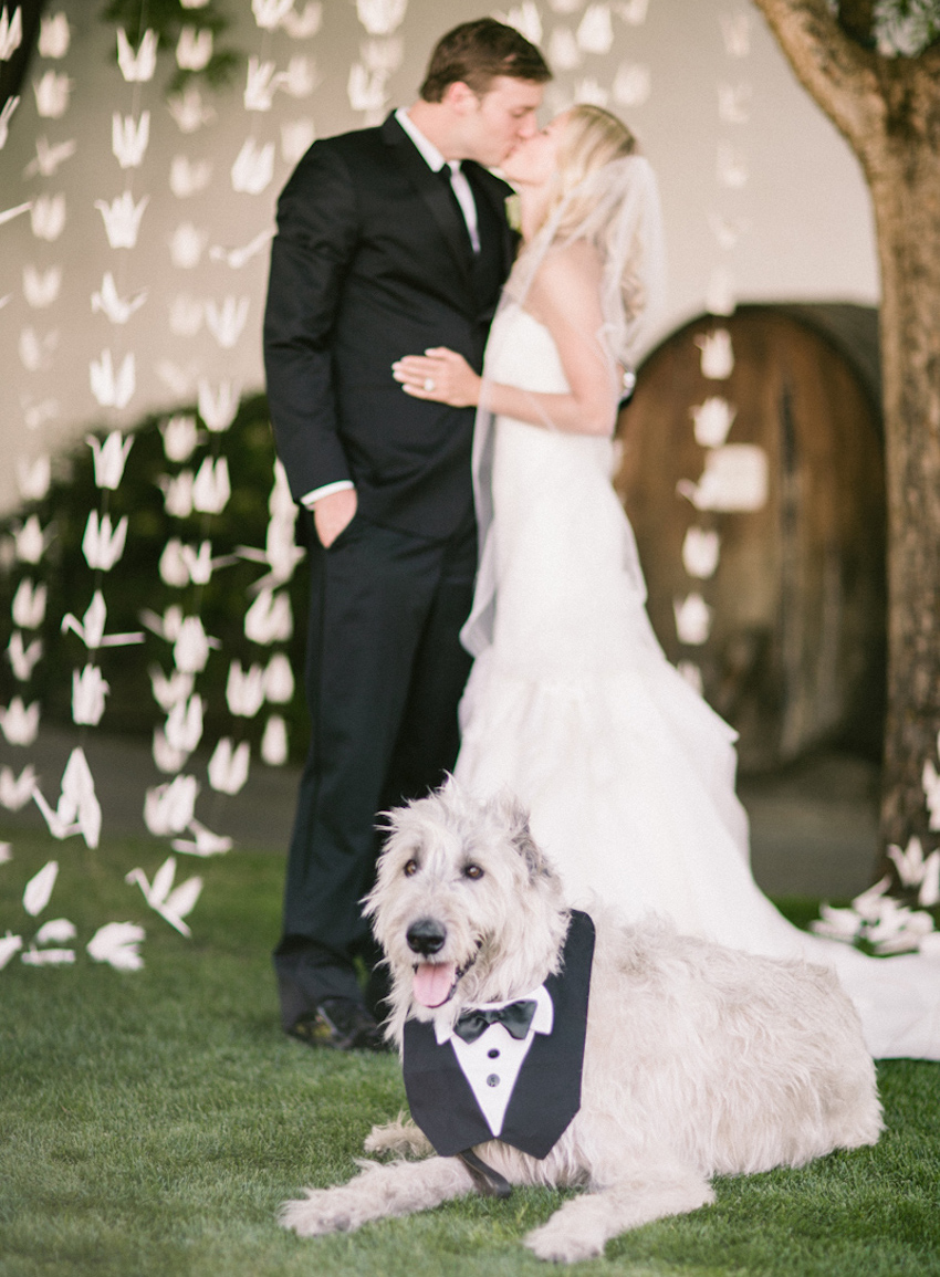 Big grey dog in tuxedo bib at wedding