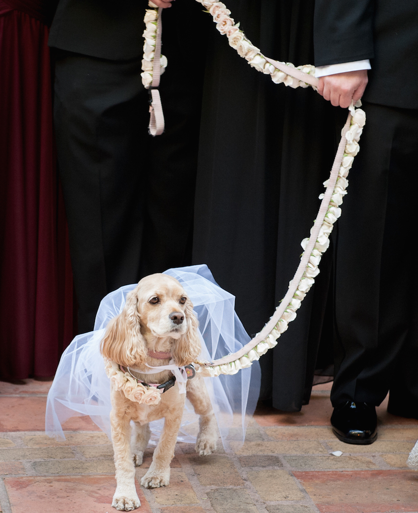 Cocker spaniel dog in veil at wedding