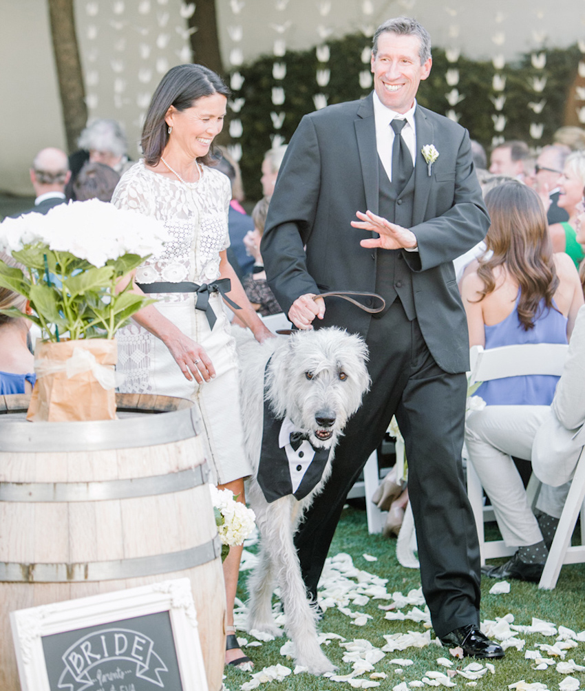 Large grey dog with tuxedo at wedding ceremony