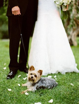 yorkshire-terrier-with-bride-and-groom