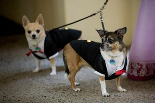 mother-of-the-brides-dogs-in-formal-attire