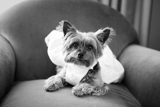 black-and-white-photo-of-yorkshire-terrier