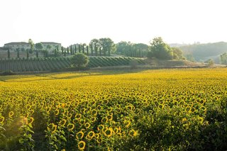 sunflower-field-in-tuscany-italy-at-wedding-venue
