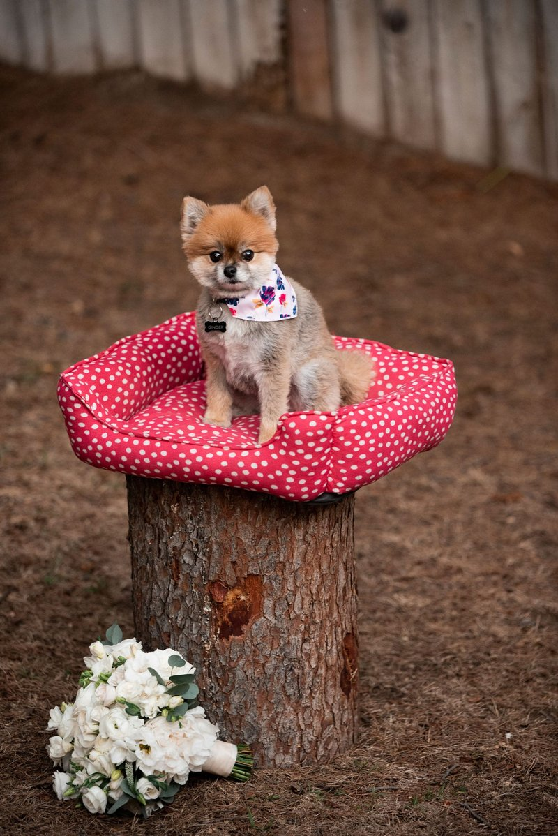 Pomeranian Pup on Dog Bed with Bouquet