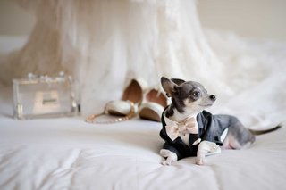 grey-and-white-dog-chihuahua-in-custom-made-bow-tie-suit-and-shirt-with-wedding-accessories