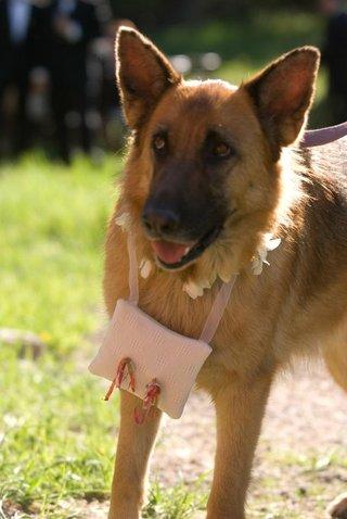 german-shepherd-dog-with-ring-pillow-around-neck