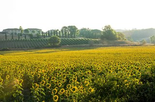 field-of-golden-sunflowers-in-tuscany