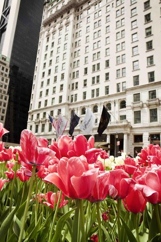 pink-tulip-garden-in-front-of-the-plaza-hotel-in-nyc