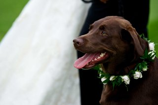 chocolate-labrador-retriever-with-white-rose-collar-at-owners-country-club-wedding