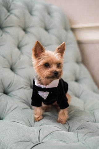 small-yorkie-puppy-in-tuxedo-acts-as-ring-bearer-for-wedding