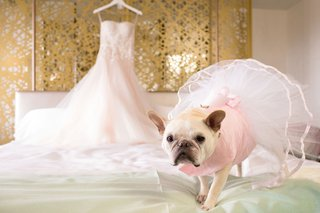 french-bull-dog-frenchie-pink-dress-tutu-on-dog-wedding-bridal-suite-getting-ready-bridal-gown-dress