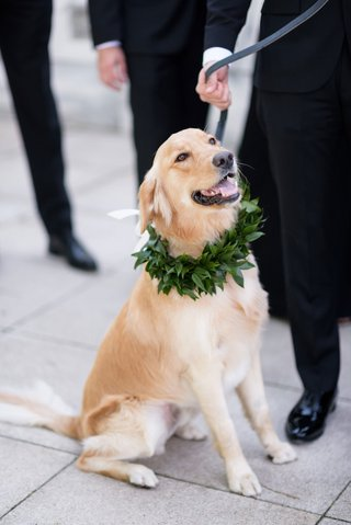 golden-retriever-at-wedding-portrait-with-collar-made-of-greenery-ring-bearer