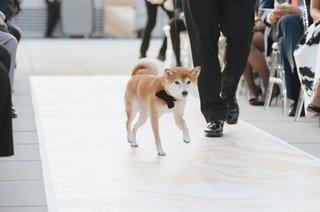 wedding-dog-walking-down-aisle-shiba-inu-puppy-black-bow-tie-rooftop-ceremony