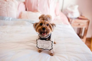 dog-dog-with-sign-yorkshire-terrier-on-bed-in-bridal-suite