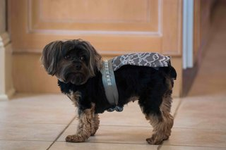 yorkie-dog-wearing-ring-bearer-outfit-of-lace