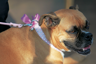 boxer-puppy-with-pink-collar-holding-rings