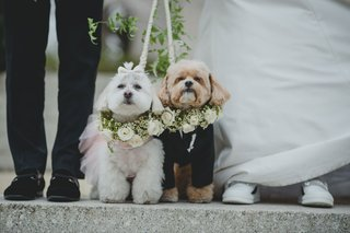 wedding-attire-for-dogs-white-dog-with-tutu-and-tan-dog-with-tuxedo-greenery-white-flowers-collars