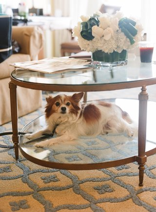 white-and-brown-dog-rests-on-the-bottom-of-two-tier-glass-table