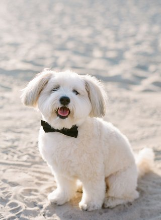 santa-monica-beach-wedding-with-white-dog-in-black-bow-tie-for-wedding