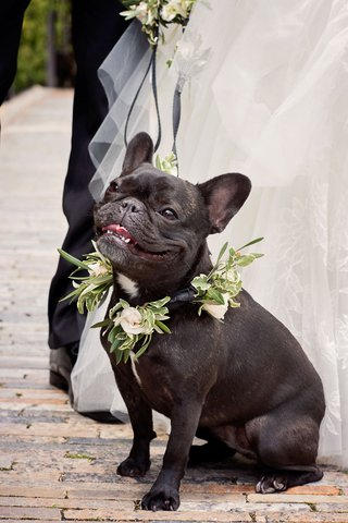 french-bull-dog-at-bride-and-grooms-wedding-with-greenery-and-white-flower-collar-and-leash