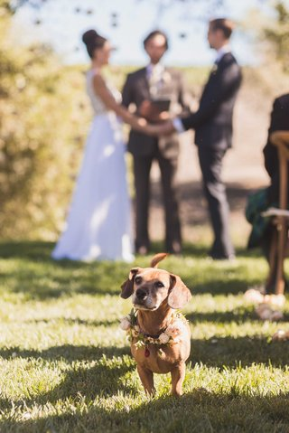 bride-and-groom-outdoor-winery-vineyard-wedding-ceremony-dachshund-beagle-mix-dog-with-flower-wreath