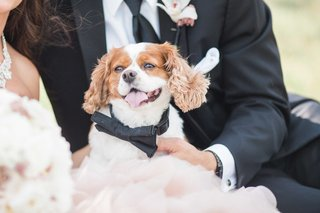 ring-bearer-dog-wears-a-bow-tie-collar-for-wedding