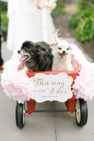 long-haired-chihuahuas-in-wedding-wagon